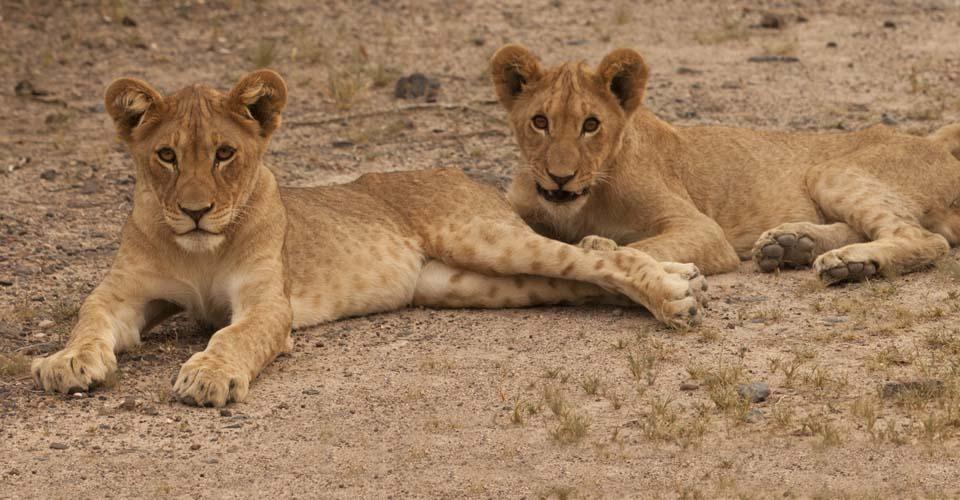 Lion cubs, Ongava Private Reserve, Etosha, Namibia