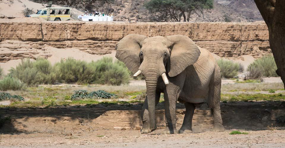 African elephant, Hoanib River, Namibia