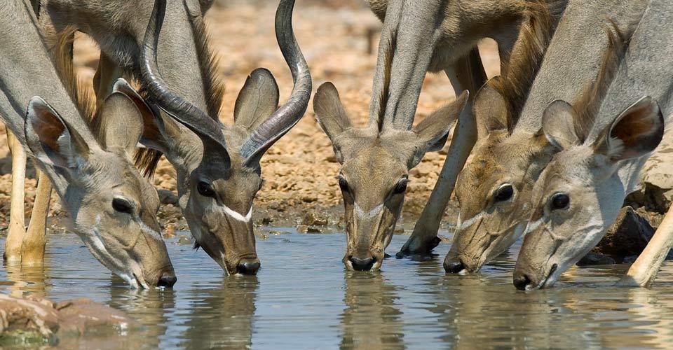 Kudu, Ongava Private Reserve, Namibia