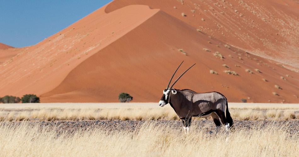 Gemsbok (oryx), Sossusvlei, Namibia
