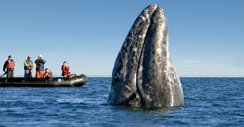 Gray whale watching, Magdalena Bay, Baja, Mexico