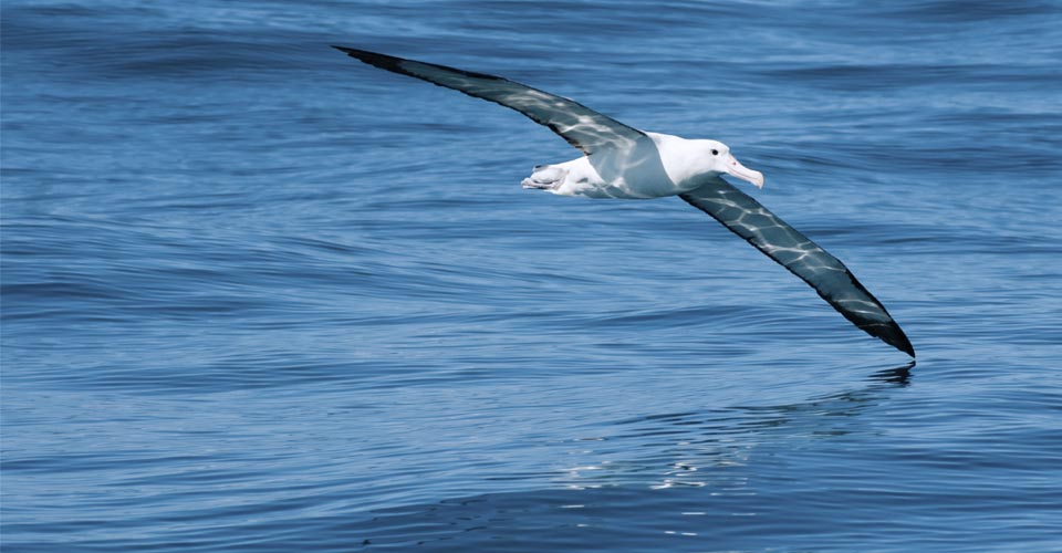 Royal Albatross, Dunedin, New Zealand