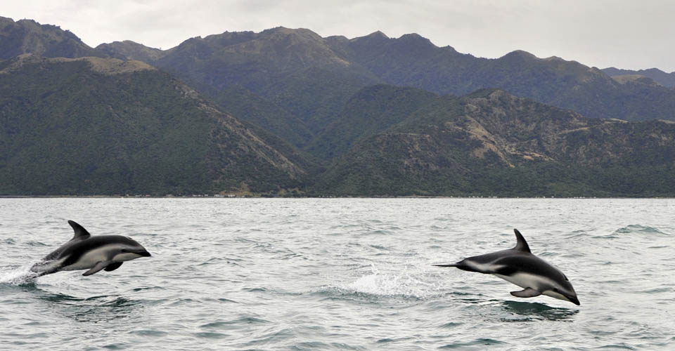 Dusky dolphin, Kaikoura, New Zealand