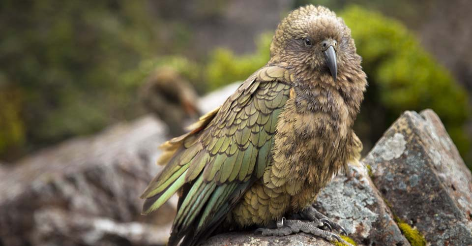 Kea, Fox Glacier, New Zealand