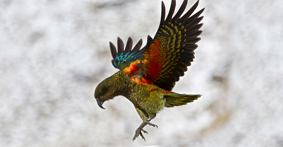 Kea, Westland National Park, New Zealand