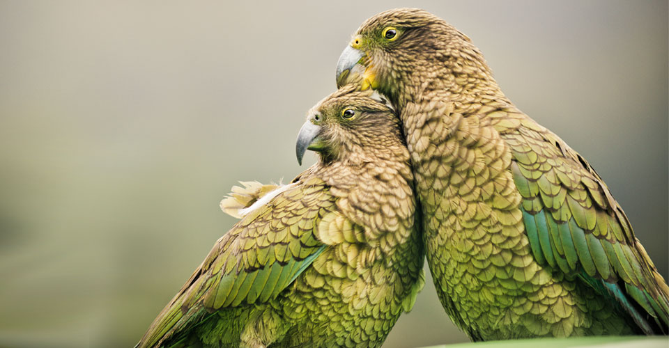 Kea's, Arthur's Pass, New Zealand