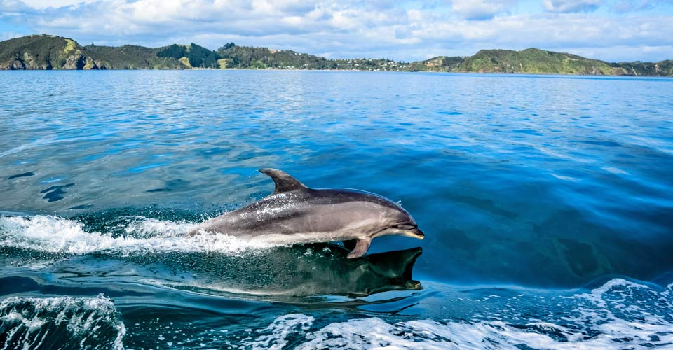 Bottlenose dolphin, New Zealand