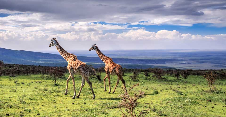 Masai giraffe, Ngorongoro Crater, Tanzania