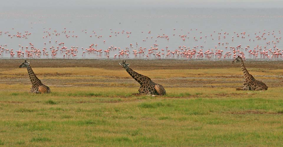 Masai giraffe and Lesser flamingo, Ngorongoro Crater, Tanzania