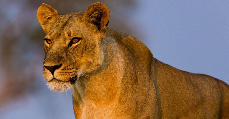 East African lion, Ngorongoro Crater, Tanzania