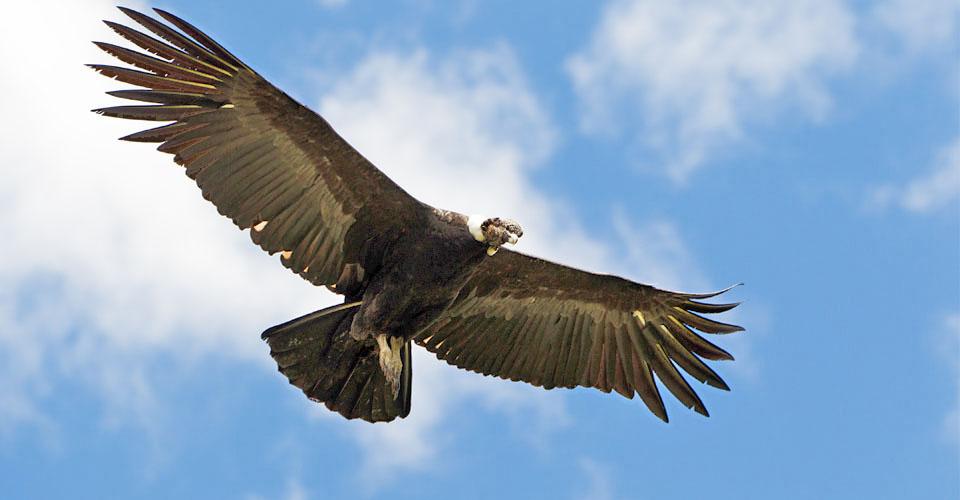 Andean Condor, Argentina