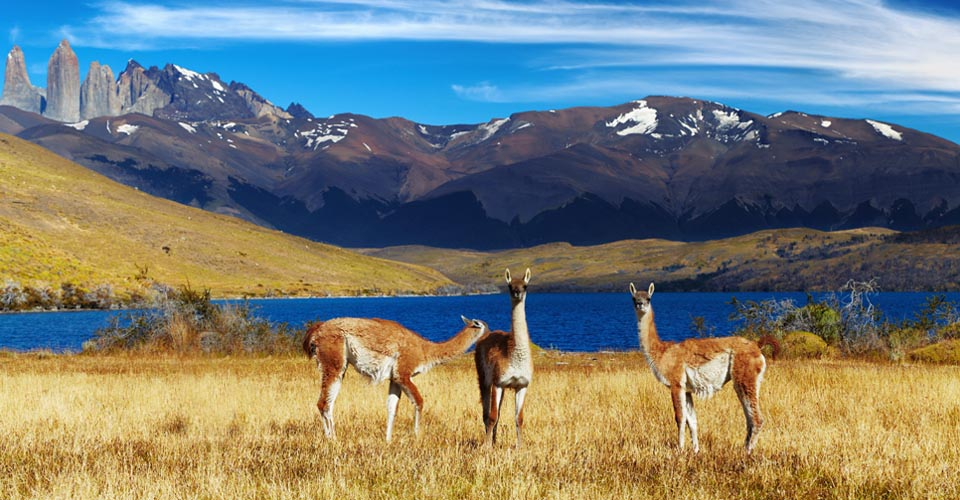 Guanacos, Torres del Paine National Park, Chile