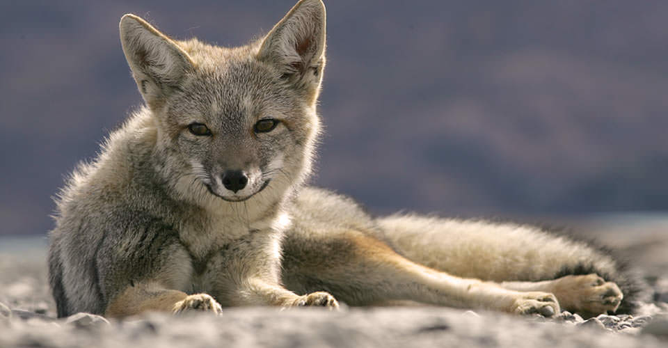Patagonian gray fox, Torres del Paine National Park, Chile