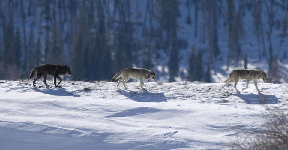 Yellowstone Wolf Quest & Photo Adventure