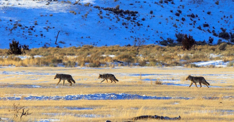 Coyotes, Lamar Valley, Yellowstone National Park, USA