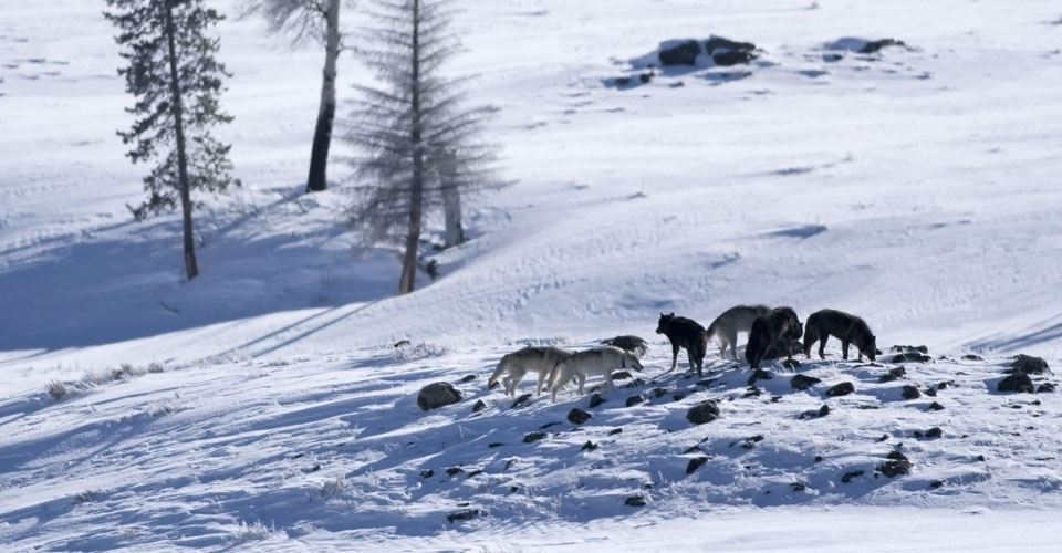 Gray wolves, Lamar Valley, Yellowstone National Park, USA