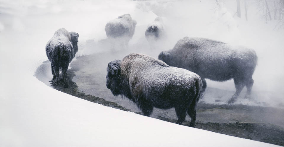 American bison, Mammoth Hot Springs, Yellowstone National Park, USA