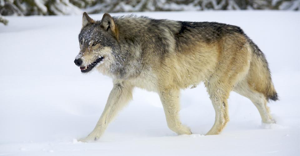 Wolf in White Van A Novel John Darnielle 9781250074713