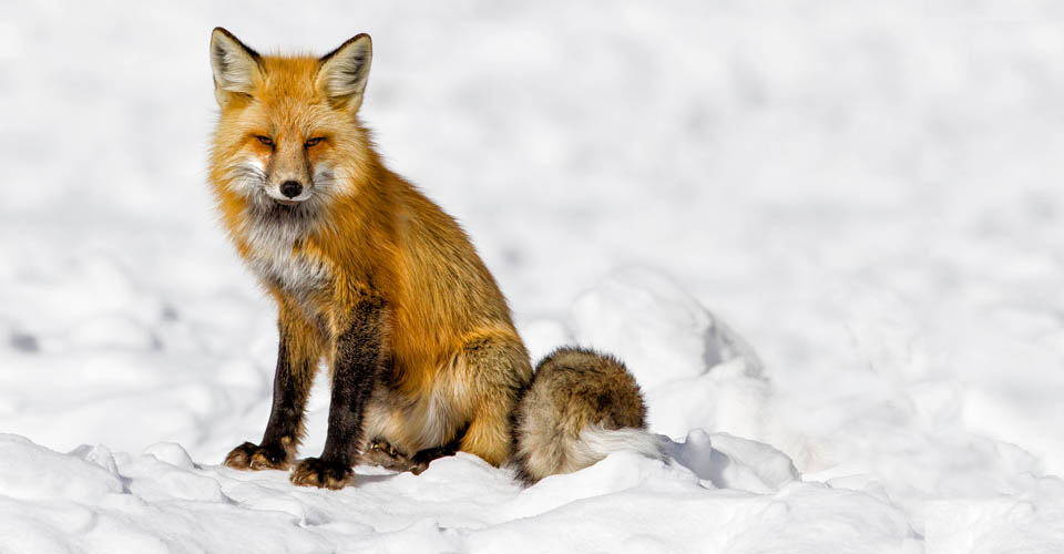 Red fox, Blacktail Plateau, Yellowstone National Park, USA