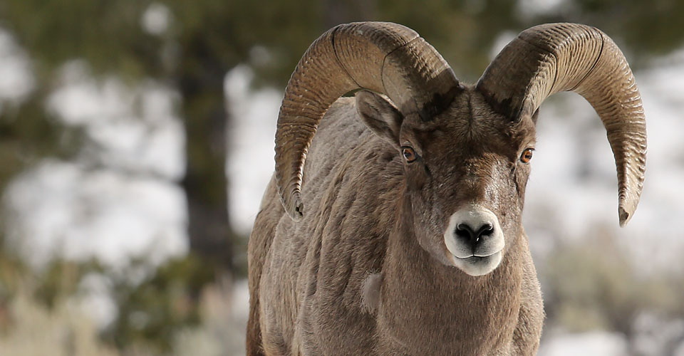 Bighorn sheep, Yellowstone National Park, USA