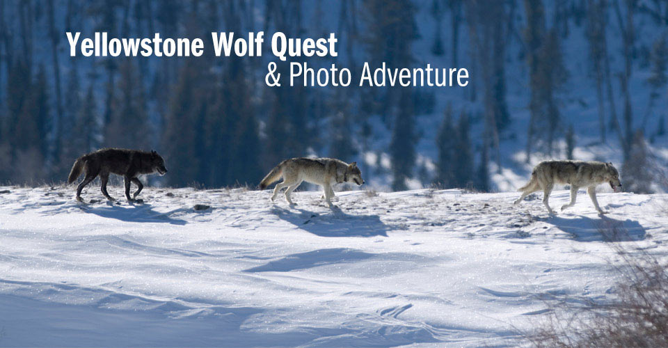 Wolves, Yellowstone National Park, Wyoming, USA