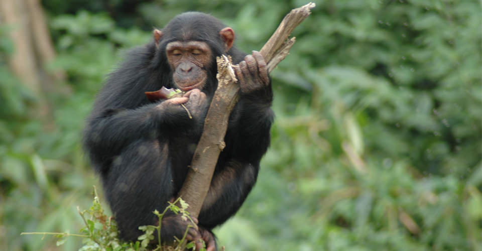 Chimpanzee, Kibale Forest National Park, Uganda