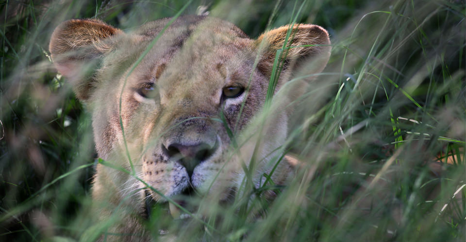 East African lion, Queen Elizabeth National Park, Uganda