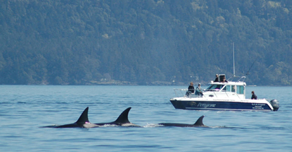 Orcas, San Juan Islands, Washington, USA