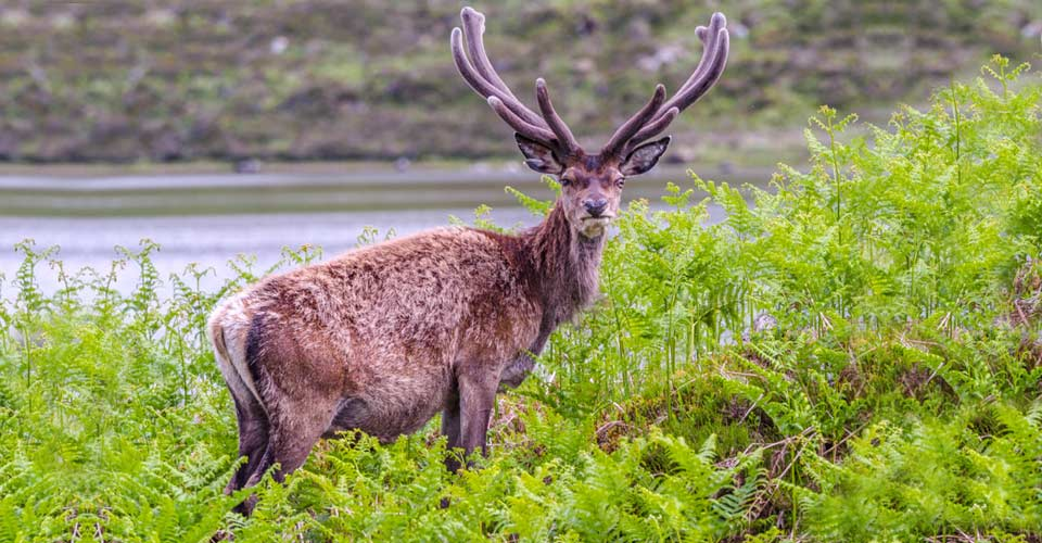 Sika deer, Scottish Highlands, Scotland