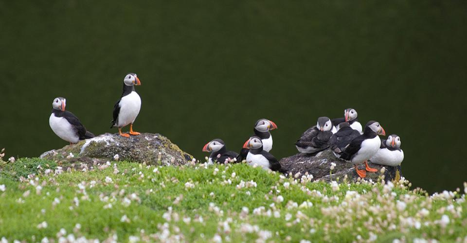 Puffins, Handa Island, Scotland
