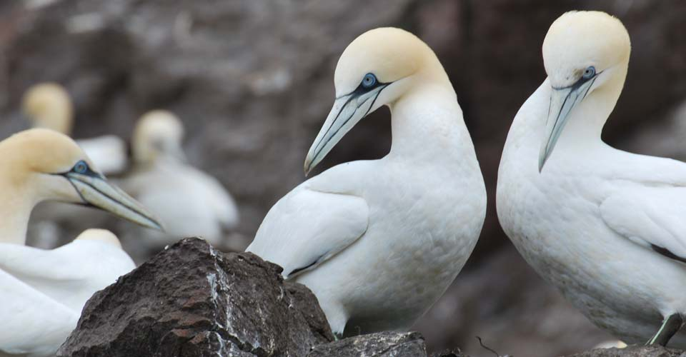 Northern gannets, Outer Hebrides, Scotland
