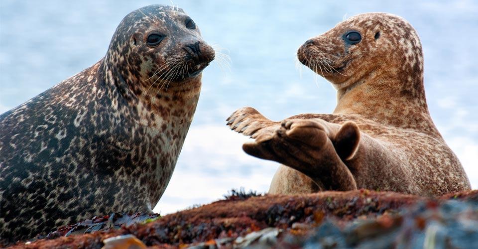 Common seals, Isle of Harris, Scotland