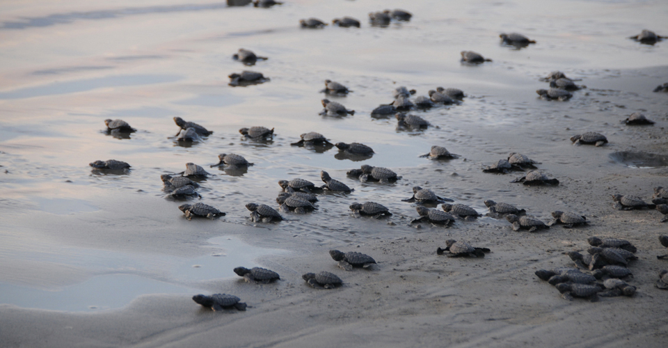 Olive ridley sea turtles, La Escobilla Turtle Camp, Mexico