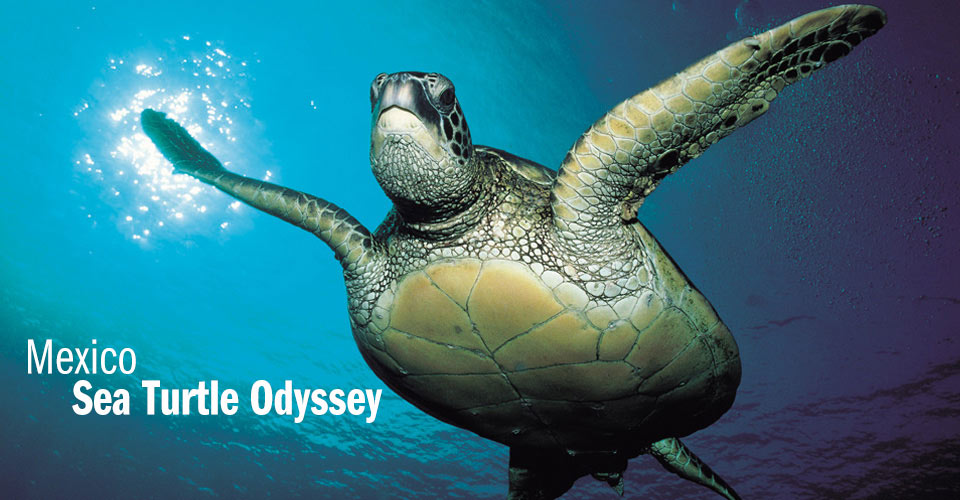Sea Turtles | The Ocean Foundation