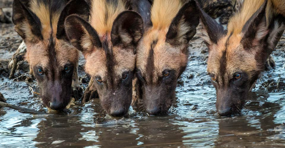 African wild dog, Santawani Private Concession, Botswana