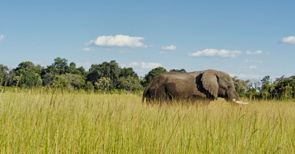 African elephant, Moremi Game Reserve, Botswana