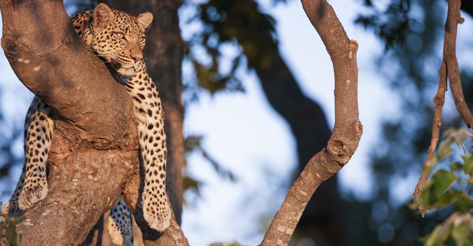 African leopard, Linyanti Private Reserve, Botswana