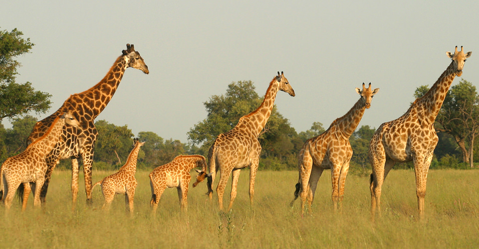 Angolan giraffe, Gomoti Private Concession, Botswana