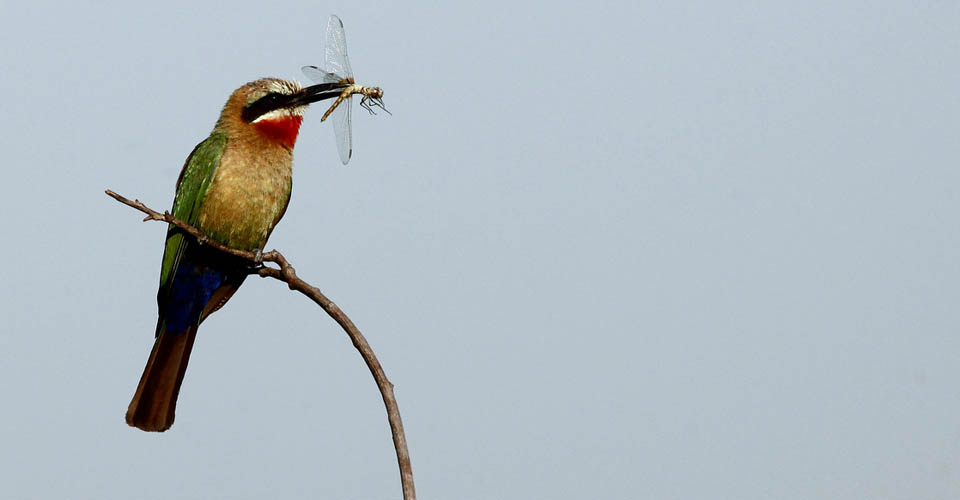 White-fronted Bee-eater, Linyanti Private Reserve, Botswana