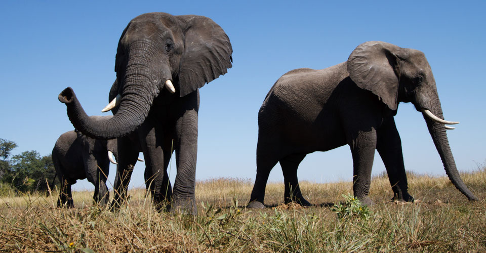 African elephant, Mashatu Game Reserve, Botswana