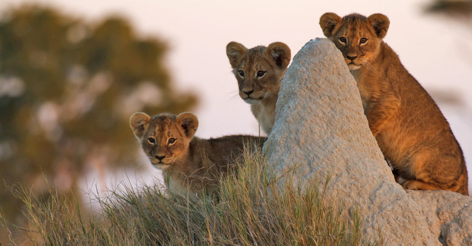Lion cubs, Manyeleti Game Reserve, South Africa
