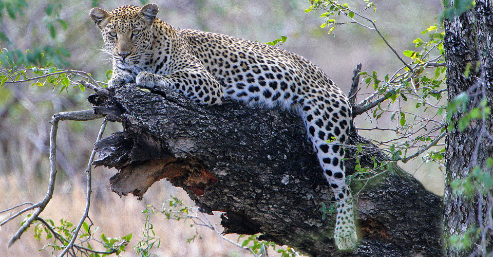African leopard, MalaMala Game Reserve, South Africa