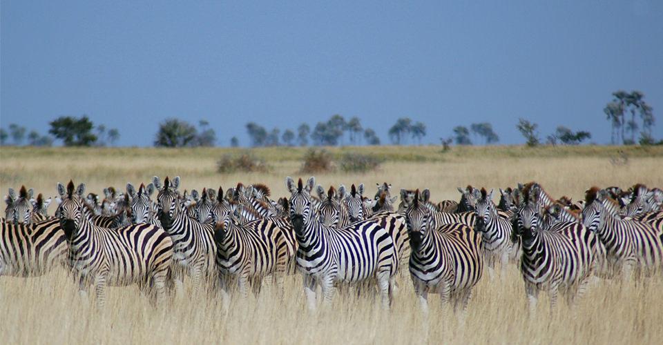 Burchell's zebra, Mashatu Game Reserve, Botswana