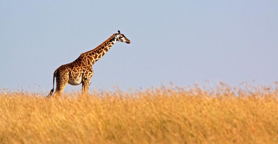 Maasai giraffe, Serengeti National Park, Tanzania