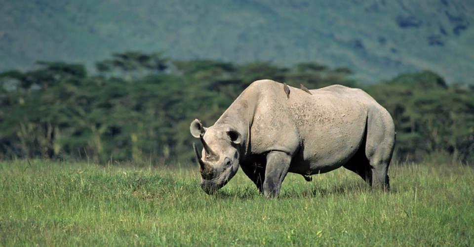 Black rhino, Ngorongoro Crater, Tanzania