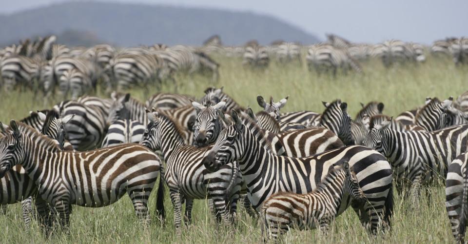 Burchell's zebra, Tarangire National Park, Tanzania