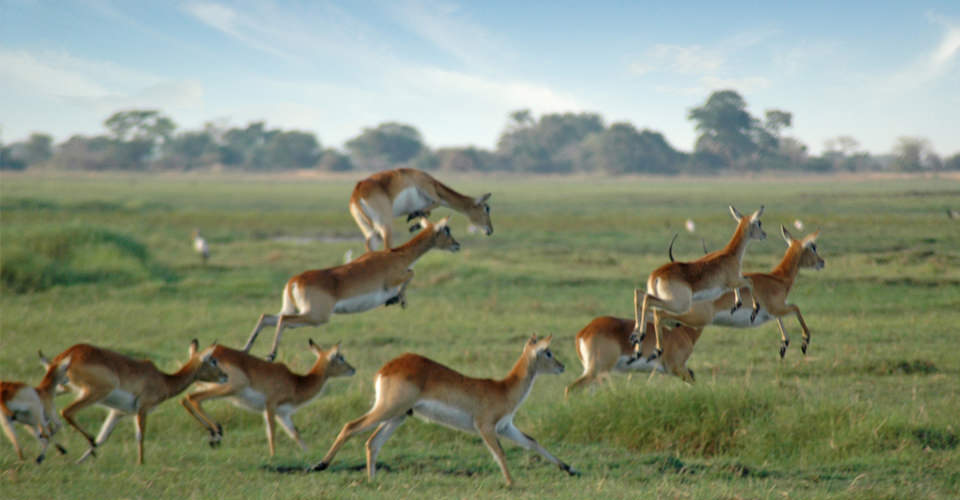 Red lechwe, Kafue National Park, Zambia