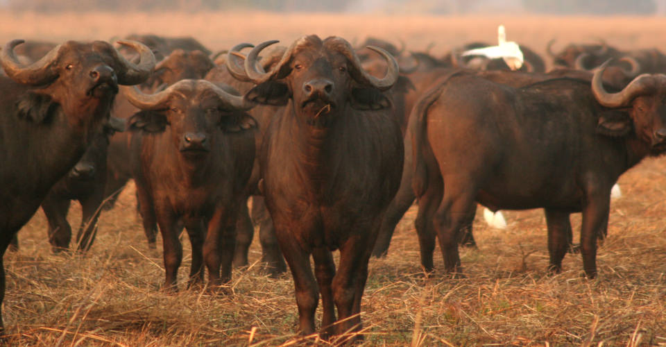 Cape buffalo, Kafue National Park, Zambia