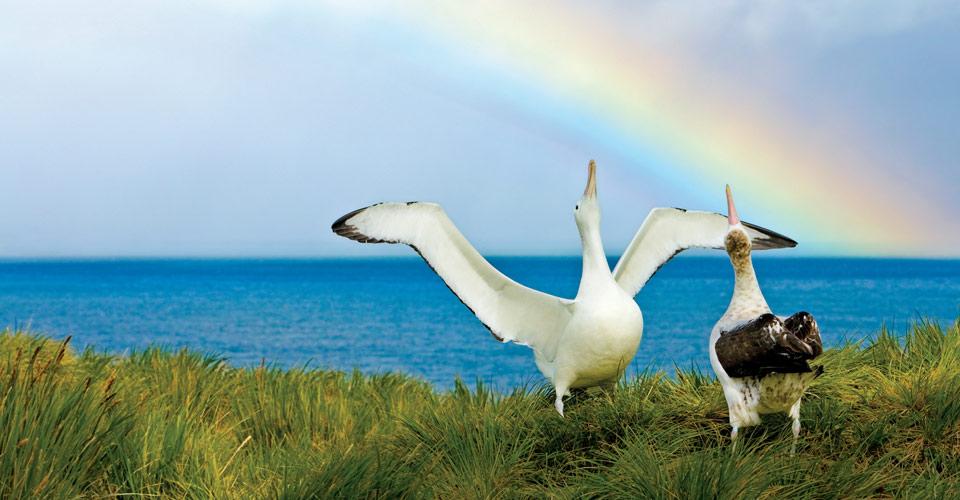Wandering albatross, Prion Island, South Georgia