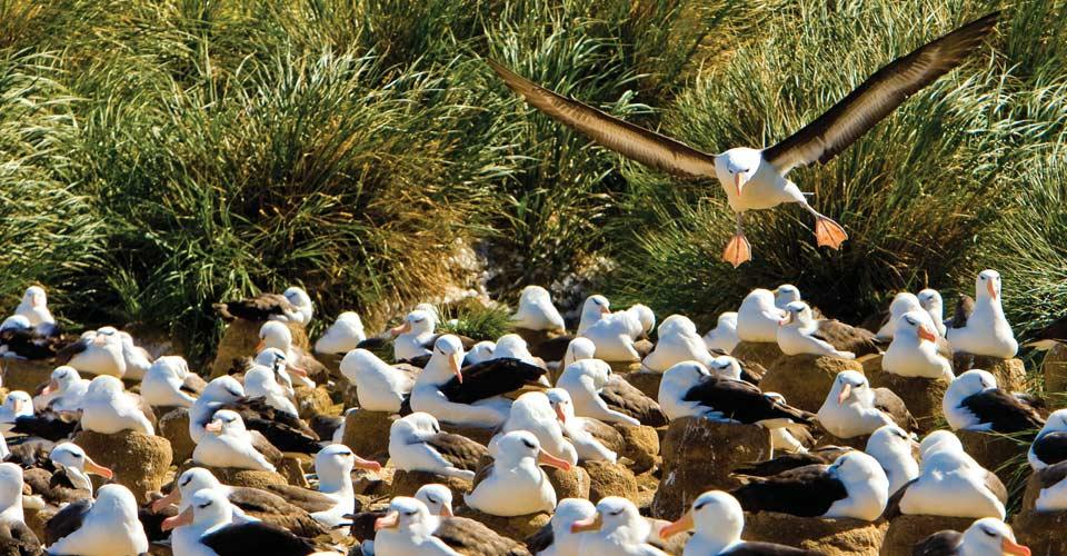 Black-browed albatross, Steeple Jason Island, South Georgia